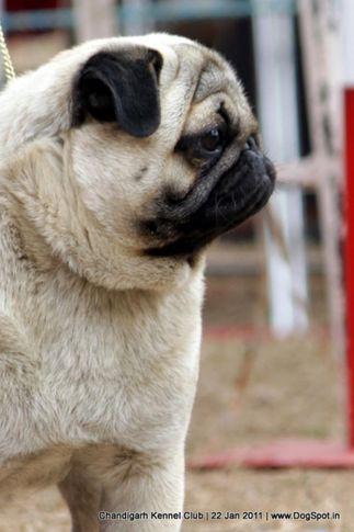 ex-19,pug,sw-50,, EMOJO OF MASABA, Pug, DogSpot.in