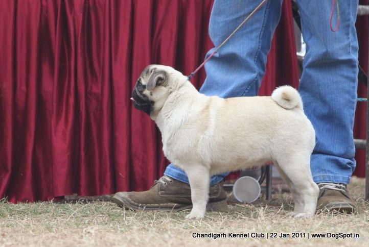 ex-26,pug,sw-50,, TINY TOY CUTE GIRL, Pug, DogSpot.in