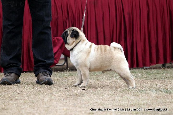 ex-45,pug,sw-50,, CH. Blazing Boy of Sunnyland, Pug, DogSpot.in