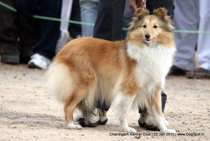 shetland sheepdog,sw-50,ex-299, MARKENFIELD SUMMER EDITION, Shetland Sheep Dog, DogSpot.in