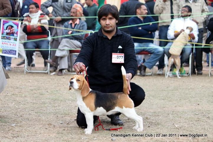 beagle,ex-77,sw-50,, YEOMAN'S BOOGIE WOOGIE, Beagle, DogSpot.in