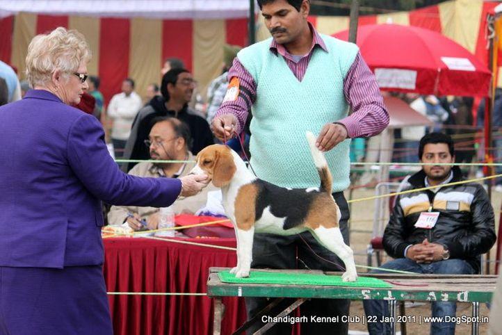 beagle,ex-78,sw-50,, MUSKAN, Beagle, DogSpot.in