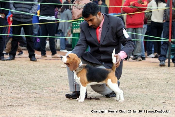 beagle,ex-79,sw-50,, WINALL'S FLY GIRL, Beagle, DogSpot.in