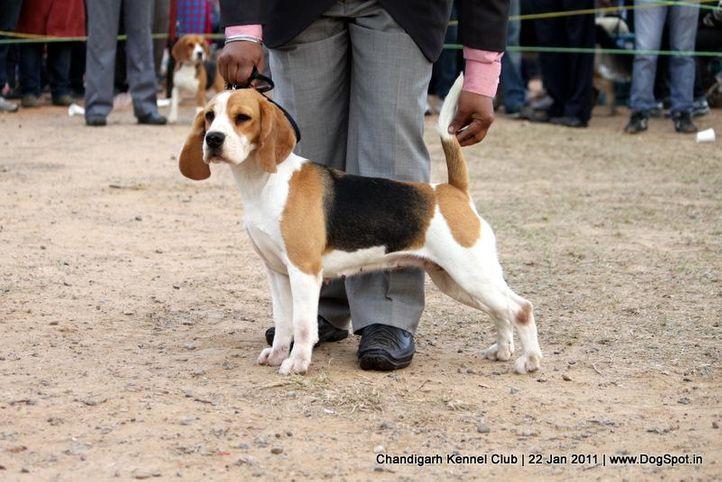 beagle,ex-82,sw-50,, WINALL'S BAASIMA, Beagle, DogSpot.in