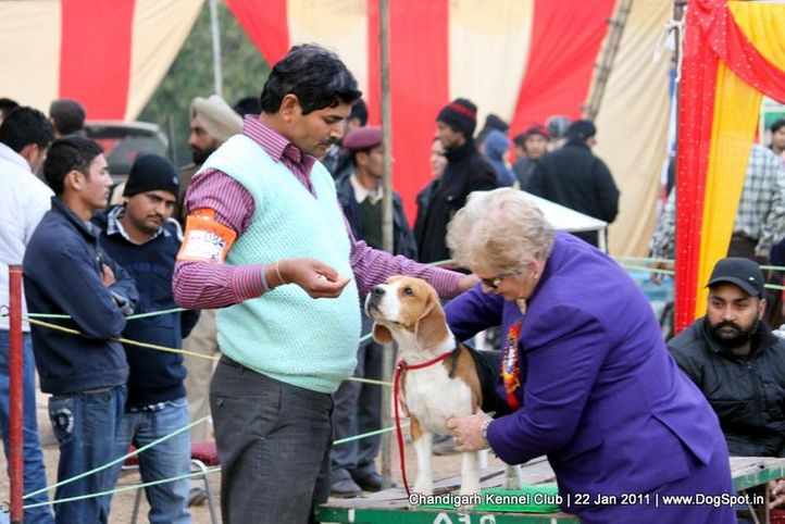 beagle,ex-84,sw-50,, BLUE BELL'S HIPPY, Beagle, DogSpot.in