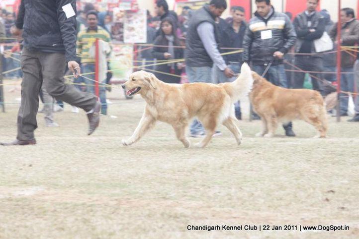 ex-119,golden,sw-50,, SUNTIME BALLY BOOT LEG, Golden Retriever, DogSpot.in
