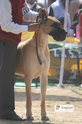 Great Dane,, Chandigarh Dog Show 2010, DogSpot.in