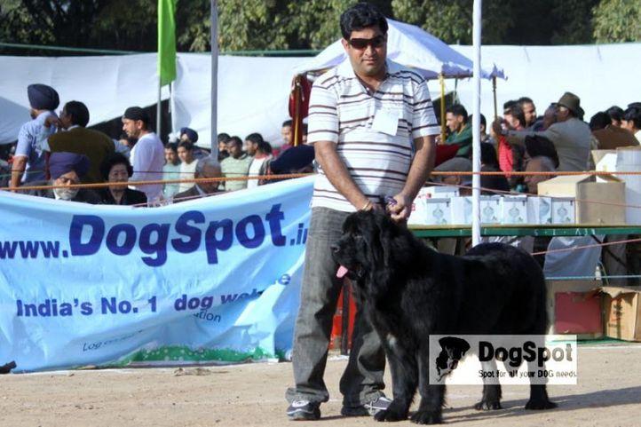 Newfoundland, Chandigarh Dog Show 2010, DogSpot.in