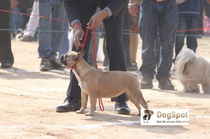 Boston Terrier, Chandigarh Dog Show 2010, DogSpot.in