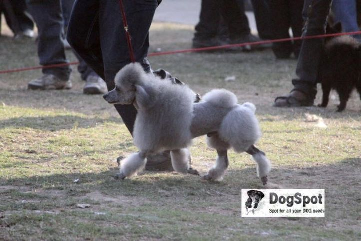 Poodle,, Chandigarh Dog Show 2010, DogSpot.in