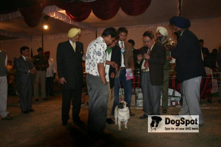 Lineup,Pug,, Chandigarh Dog Show 2010, DogSpot.in