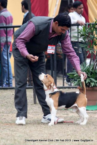 beagle,ex-83,sw-75,, IMPRESSION'S BLUE BELL'S HIPPY, Beagle, DogSpot.in