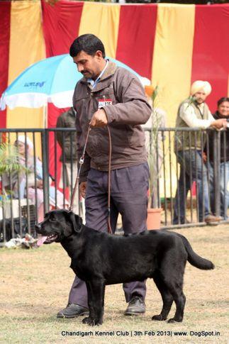 ex-125,labrador retriever,sw-75,, DINGO, Labrador Retriever, DogSpot.in