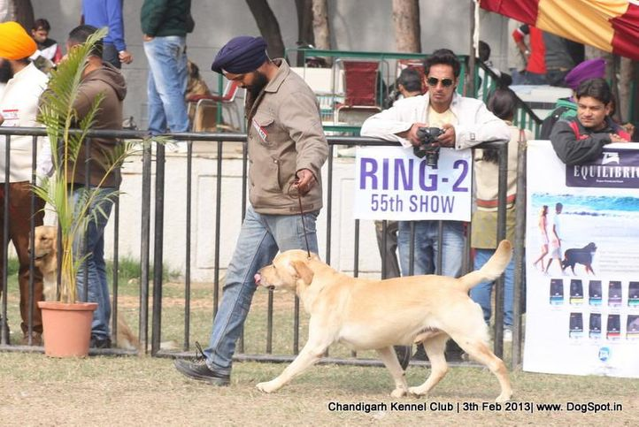 ex-140,labrador retriever,sw-75,, NEW IMAGE TWO, Labrador Retriever, DogSpot.in