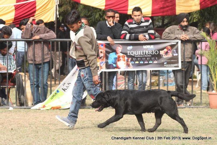 ex-139,labrador retriever,sw-75,, KRISANJLINA'S BLACK VELVET, Labrador Retriever, DogSpot.in