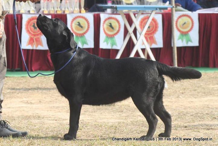 ex-156,labrador retriever,sw-75,, GURDEEP'S SPARROW, Labrador Retriever, DogSpot.in