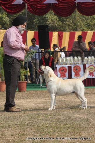 labrador retriever,sw-75,, Chandigarh Dog Show 2013, DogSpot.in