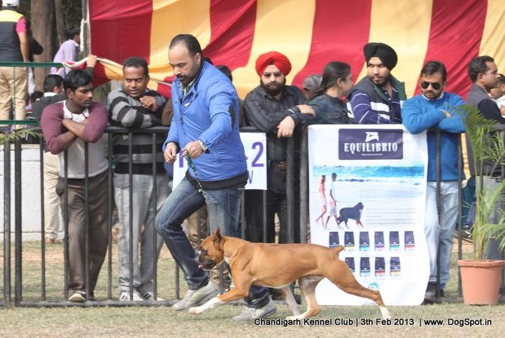 boxer,sw-75,, Chandigarh Dog Show 2013, DogSpot.in