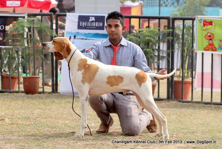 pointer,sw-75,, Chandigarh Dog Show 2013, DogSpot.in