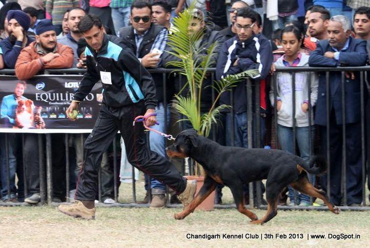 ex-224,rottweiler,sw-75,, SHESHWARA'S ALEX, Rottweiler, DogSpot.in