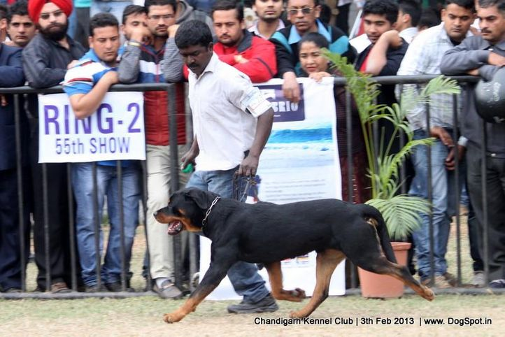 ex-226,rottweiler,sw-75,, GREWAL`S OUT LAW, Rottweiler, DogSpot.in