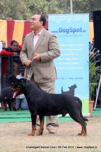 rottweiler,sw-75,, Chandigarh Dog Show 2013, DogSpot.in
