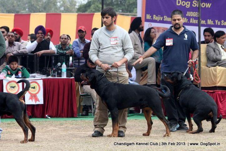 ex-240,rottweiler,sw-75,, AUDI, Rottweiler, DogSpot.in