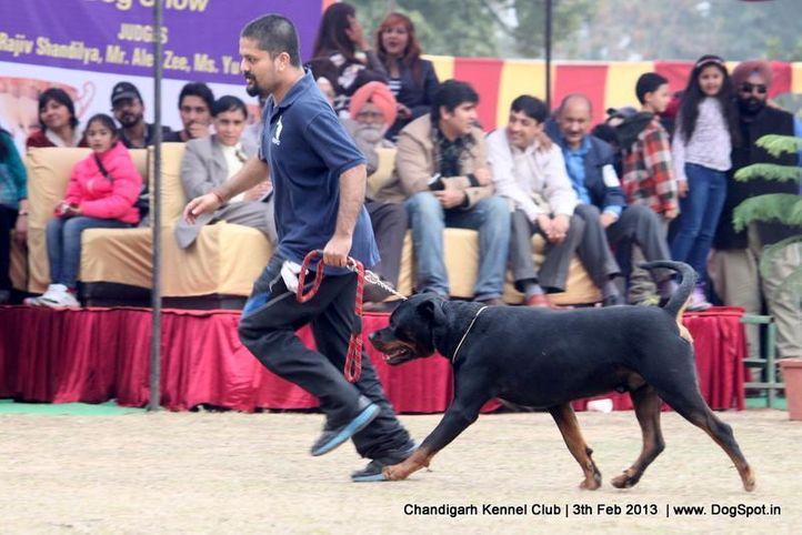 ex-238,rottweiler,sw-75,, LUCAS OF CARNIVOS, Rottweiler, DogSpot.in
