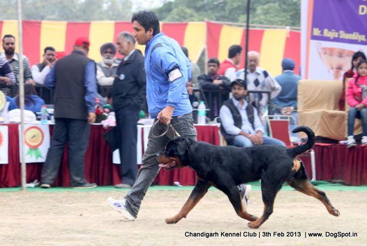 ex-245,rottweiler,sw-75,, IRK CRNI LOTUS, Rottweiler, DogSpot.in