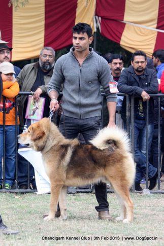 ex-278,sw-75,tibetan mastiff,, EMMON KINGH, Tibetan Mastiff, DogSpot.in