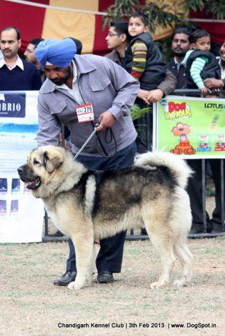 ex-279,sw-75,tibetan mastiff,, ZULUS ZORO, Tibetan Mastiff, DogSpot.in