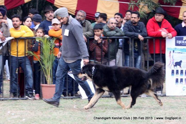 ex-280,sw-75,tibetan mastiff,, BADSHA, Tibetan Mastiff, DogSpot.in