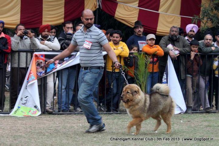 ex-281,sw-75,tibetan mastiff,, BRUNY, Tibetan Mastiff, DogSpot.in