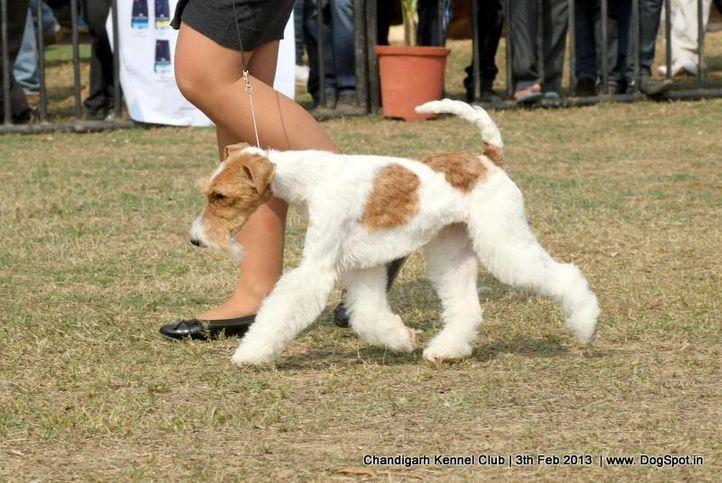 ex-45,fox terrier,sw-75,, FIERY FOX SAFARI, Fox Terrier- Weired Hair, DogSpot.in