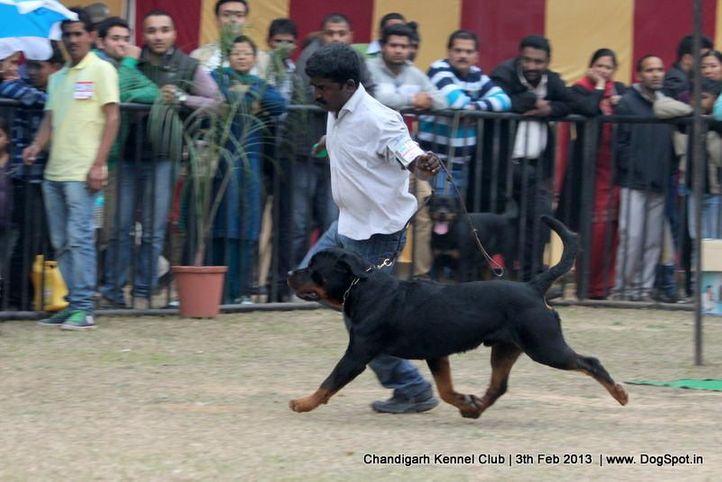 ex-257,rottweiler,sw-75,,  Grewal`s  Azgar  , Rottweiler, DogSpot.in