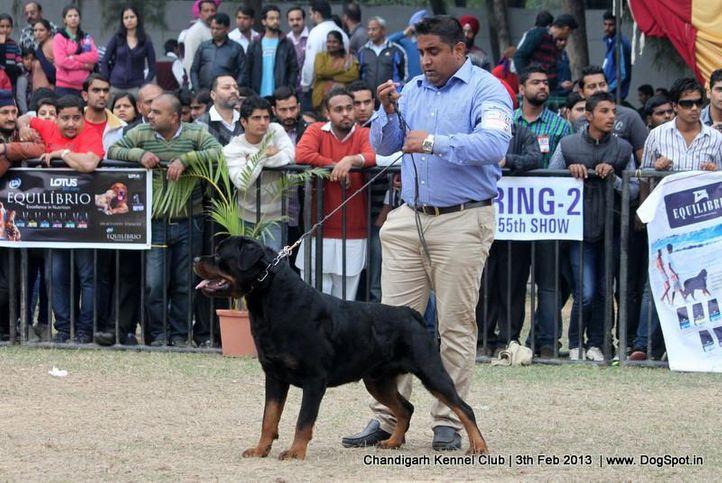 ex-262,rottweiler,sw-75,, EL DIABLO BRCKO STAR, Rottweiler, DogSpot.in