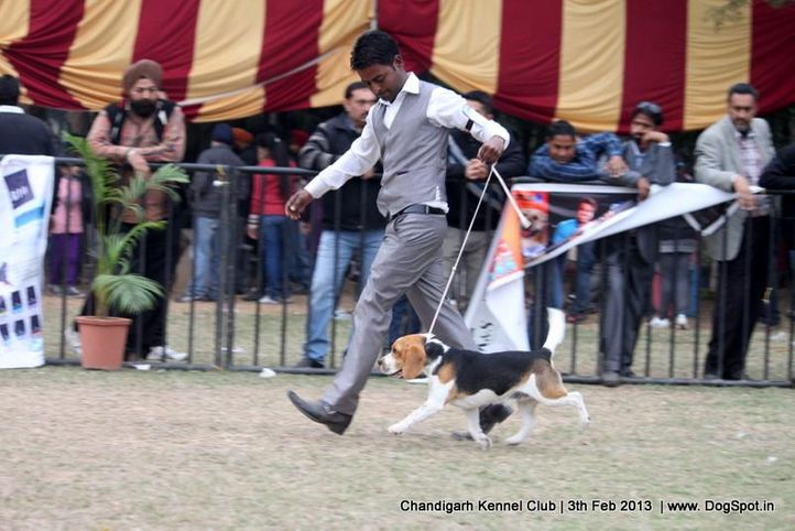 beagle,sw-75,, Chandigarh Dog Show 2013, DogSpot.in
