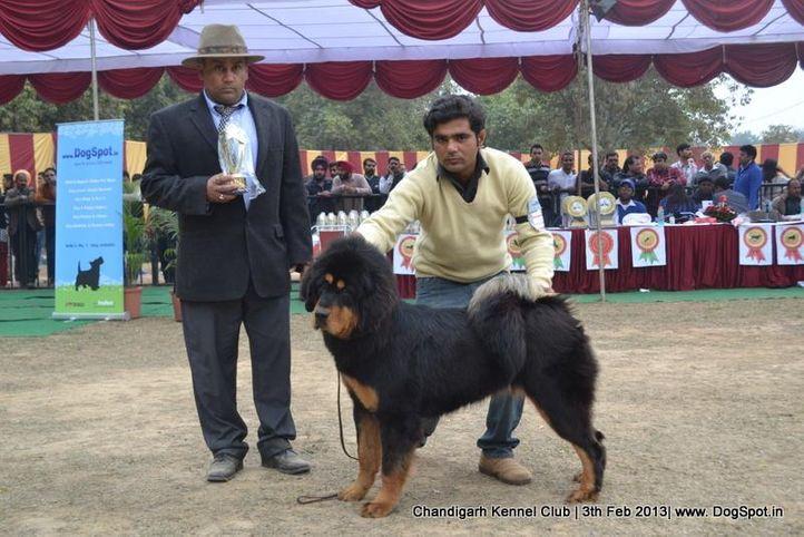 sw-75,tibetan mastiff,, Chandigarh Dog Show 2013, DogSpot.in