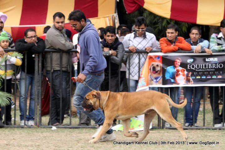 bull mastiff,ex-186,sw-75,, SHANKY'S HOOK, Bullmastiff, DogSpot.in