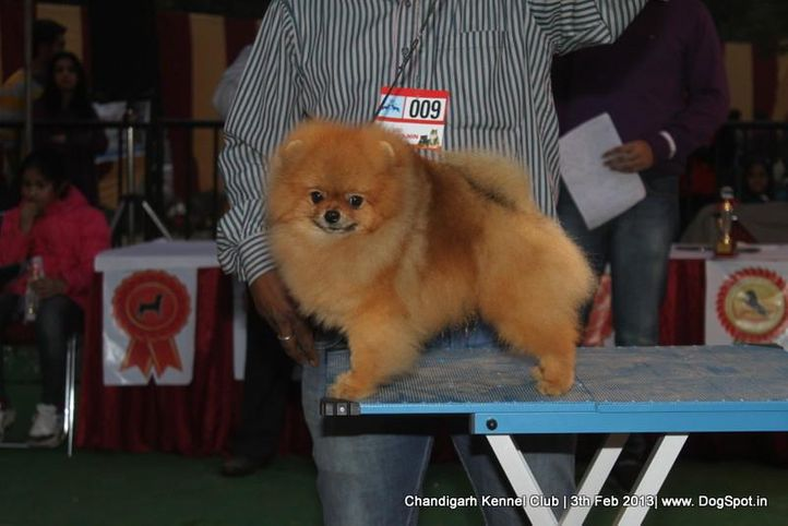 pomeranian,sw-75,ex-9, CUTE BOY OF NAAZ, Pomeranian, DogSpot.in