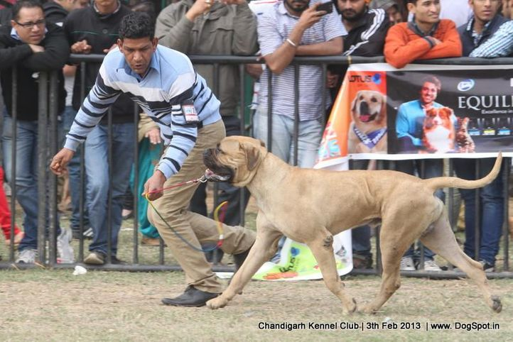 bull mastiff,sw-75,, Chandigarh Dog Show 2013, DogSpot.in