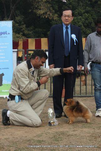 pomeranian,sw-75,, Chandigarh Dog Show 2013, DogSpot.in