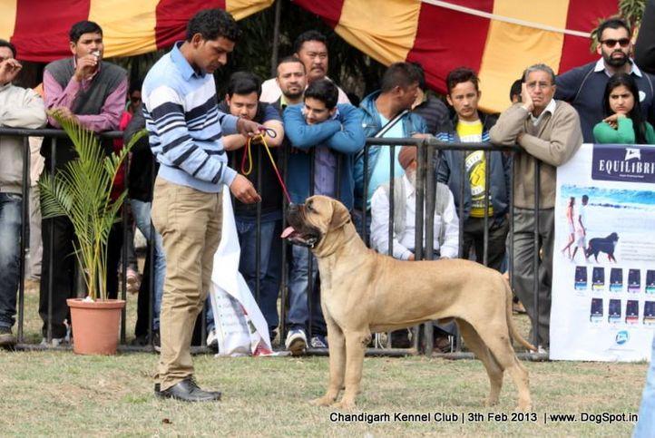 bull mastiff,sw-75,, Chandigarh Dog Show 2013, DogSpot.in