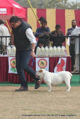 bull dog,sw-75,, Chandigarh Dog Show 2013, DogSpot.in