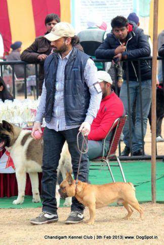 french bull dog,sw-75,, Chandigarh Dog Show 2013, DogSpot.in