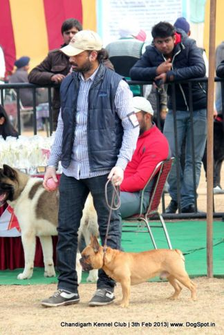 french bull dog,sw-75,, Chandigarh Dog Show 2013, DogSpot.in