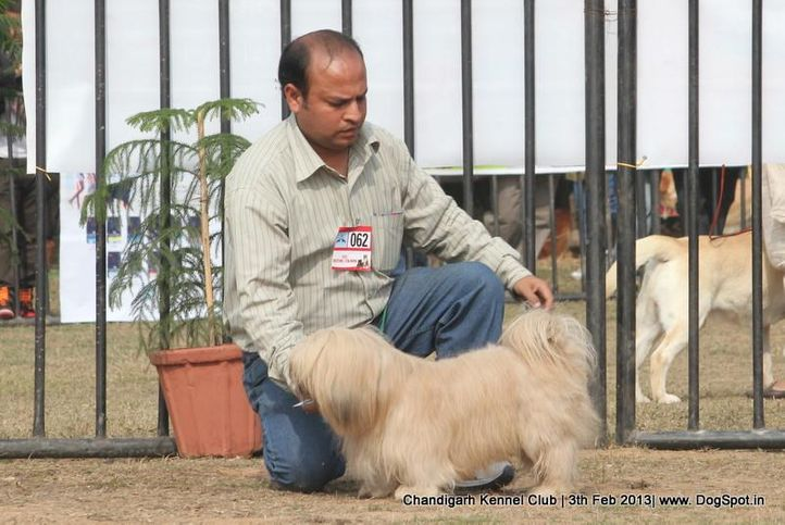 lhasa apso,sw-75,, Chandigarh Dog Show 2013, DogSpot.in