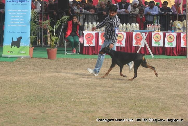 dobermann,sw-75,, Chandigarh Dog Show 2013, DogSpot.in