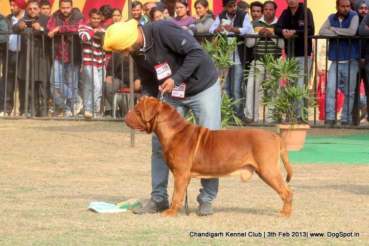 dogue de bordeaux,sw-75,, Chandigarh Dog Show 2013, DogSpot.in
