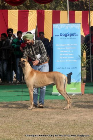 great dane,sw-75,, Chandigarh Dog Show 2013, DogSpot.in